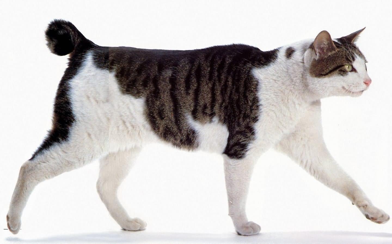 данным картинки кошки японский бобтейл это незаменимая деталь