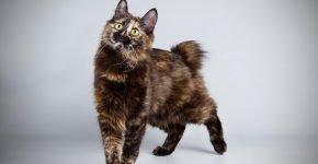 Двухцветный тёмный кот