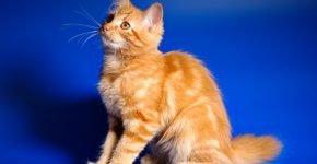 Двухцветный рыжий кот