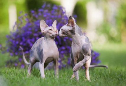 Голые кот и кошка