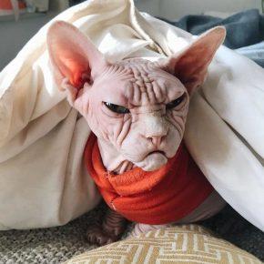 Кот сфинкс под одеялом