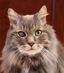 Катаракта у кошки