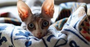 Сфинкс на одеяле