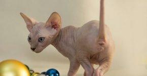 Кот сфинкс и игрушки