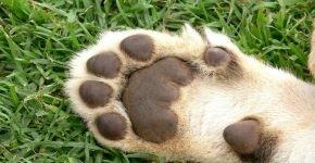 Подушечки лап кошки