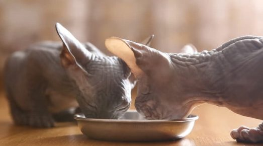 Сфинксы едят