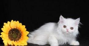 Котёнок наполеон