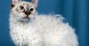 Кошка ламбкин
