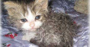 Котёнок ламбкин
