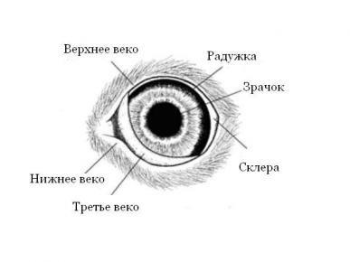 Анатомия кошачьего глаза