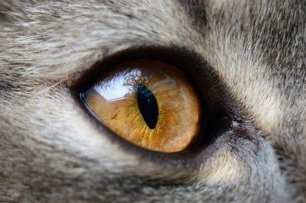 Глаз кошки жёлтый