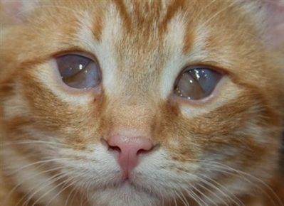Третье веко у котёнка