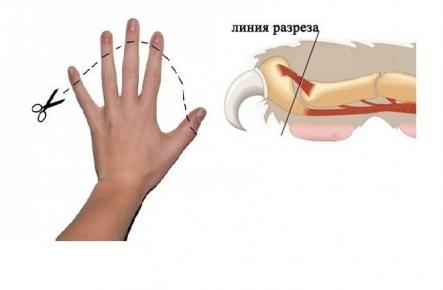 Сравнение удаления когтей у кошки с удалением фаланг пальцев у человека
