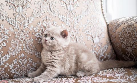 Лиловый мраморный британский котёнок