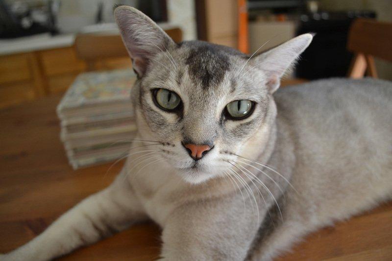 Бурмилла кошка: отличительные особенности породы, содержание и уход