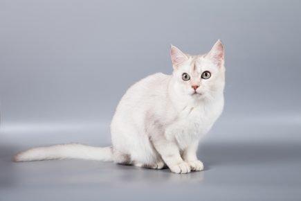 Кошка породы бурмилла с телосложением foreign-типа