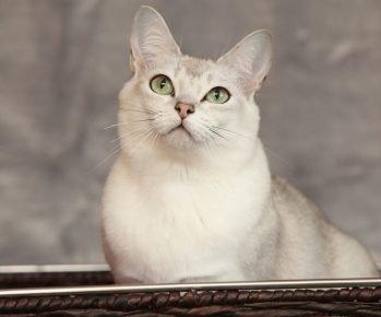Кошка породы бурмилла смотрит вверх