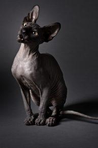 Кот породы сфинкс