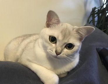 Взрослая кошка породы бурмилла