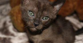 Кот породы бурмилла тёмно-коричневого (шоколадного) окраса