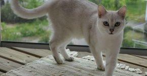 Кот окраса блю-поинт