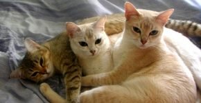 Кошки лилового окраса и табби