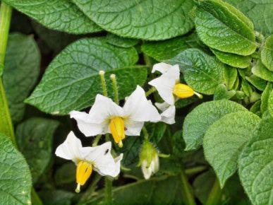 Побеги Solanum tuberosum