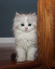 Котёнок рагамаффина