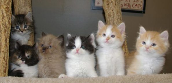 Котята рагамаффина