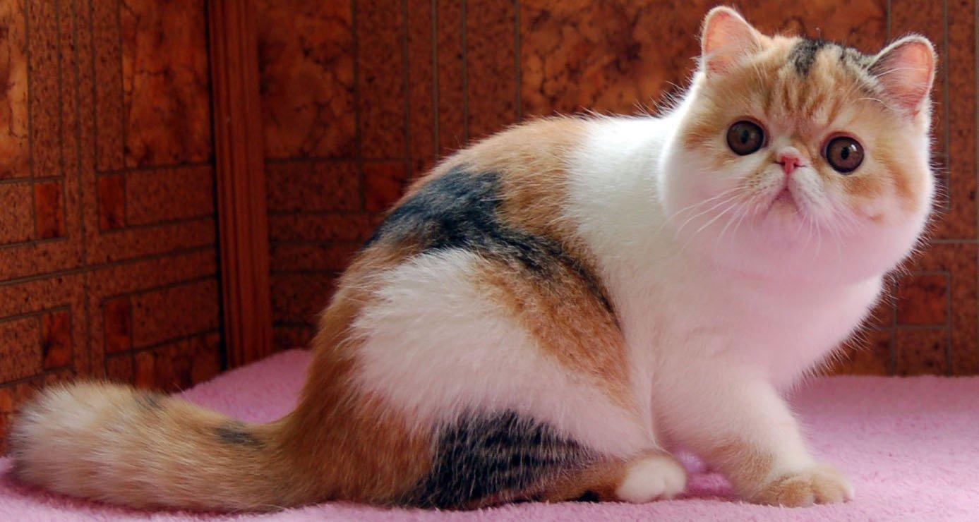 плюшевые кошки порода фото персонажа