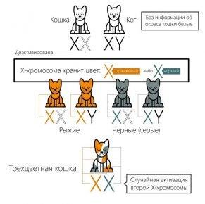 Генетика окрасов кошки