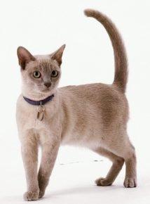 Кот в ошейнике с адресником