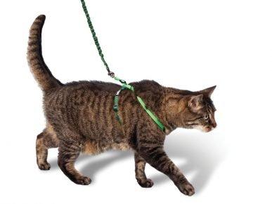 Кошка в шлейке
