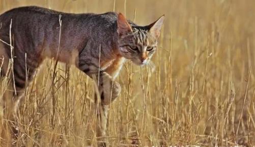 Степной кот в природе
