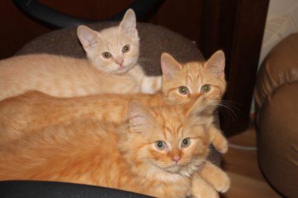 Британские красные котята