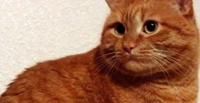 Британская красная кошка