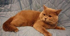Рыжий вальяжный кот