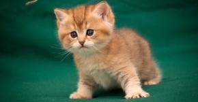 Пушистый крастый британский котёнок