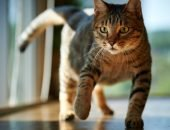 Полосатый кот стоит