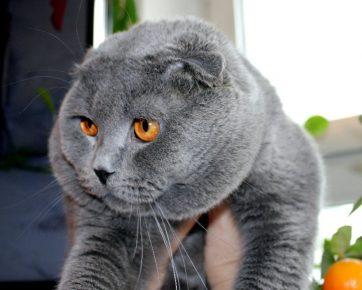 Кот породы шотландский вислоухий