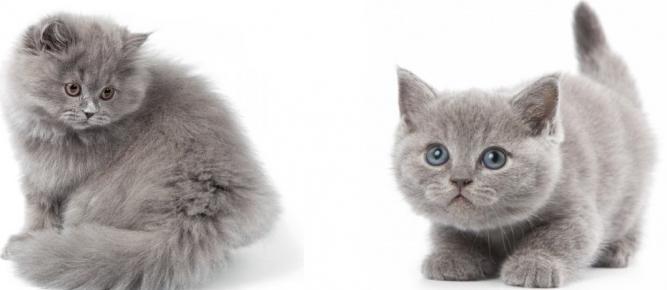 Британские котята: длинношёрстный и короткошёрстный