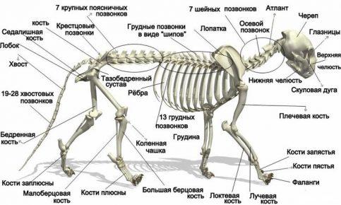 Схема скелета кошки