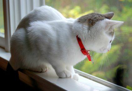 Кот в ошейнике