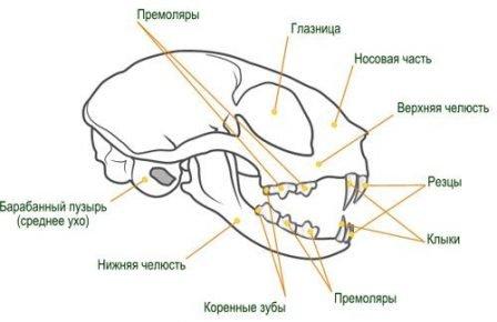 Лицевая часть кошачьего скелета
