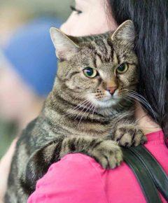Европейская короткошёрстная кошка на руках хозяйки