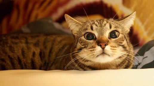 Настороженная кельтская кошка