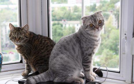 Европейская короткошёрстная кошка и серый кот