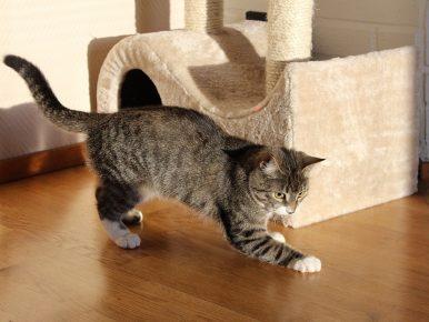 Европейская короткошёрстная кошка рядом с котодомиком