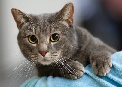 Европейская короткошёрстная кошка голубого окраса на плече хозяина