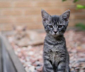 Серый кельтский котёнок